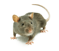 Rodents can become a real pest.