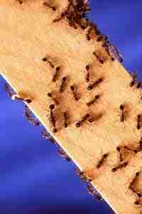 Fire ant on board in South Carolina